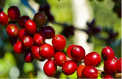 robusta-arabica-difference