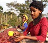 recolte-cerise-cafe-ethiopie