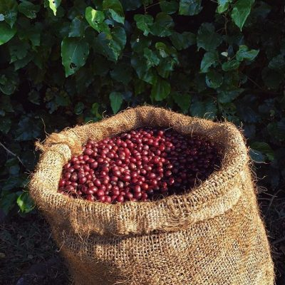 Freshly harvested specialty coffee
