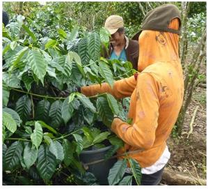 cafe-indonesie-sumatra-1