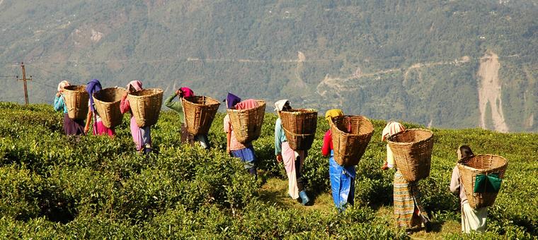 Sikkim_Plantation_The-18