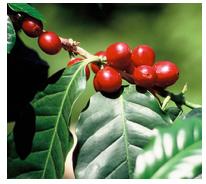 cafe-arabica-guatemala