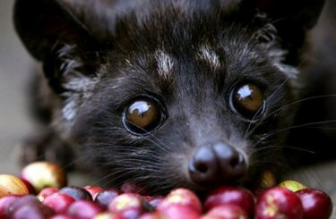 Kopi Luwak : the most expensive coffee in the world but the less ethical!