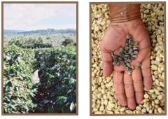 café moulu huehuetenango guatemala
