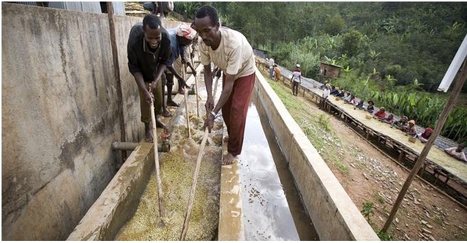 Café grains rwanda kanzu