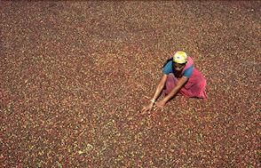 café moulu malabar moussoné torréfié par Michela