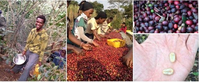 moka waabaa café éthiopien